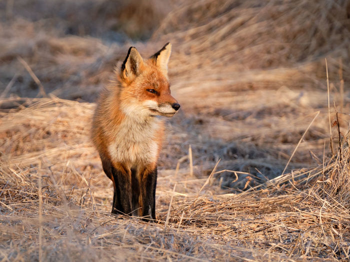 One Animal Animal Wildlife Animals In The Wild Mammal Fox Survival Animals Hunting Hunting Vertebrate Grass No People Nature Looking Day Outdoors Canine Red Fox Sunshine Evening Light Squinting Orange Color Orange Glow Glowing Wildlife Wildlife & Nature Wildlife Photography Close-up