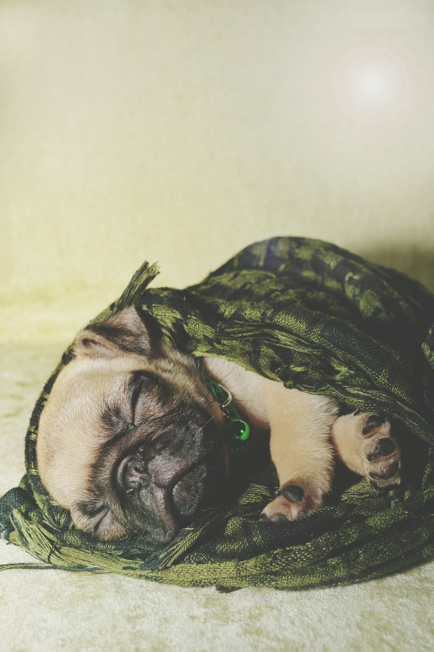 Close-Up Pug Dog Sleeping Against Wall