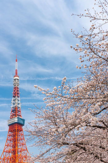 Tokyo tower and Sakura Cherry blossom in spring season at Tokyo, Japan. Cherry Blossom Japan Tokyo Tokyo Tower Travel Sakura Nature Spring Season  Famous Place Tokyo Olympics 2020 ASIA Capital City Japanese  Cityscape Tourism Landmark Tower Broadcasting Landscape Cherry Yoshino Cherry Blooming Blossom Modern