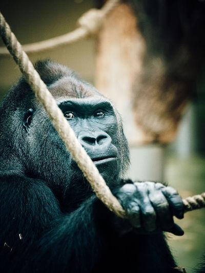 Gorilla in zoo