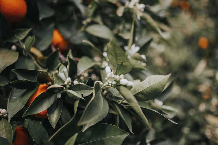Flowering Flowering Plant Orange Orange Flowers Azahar Beauty In Nature Day Flower Flowering Plant Freshness Green Color Growth Leaf Orange - Fruit Orange Flower Orange Flowers 😍🌺🌺🌺 Organic Plant Plant Part Spring Flowers Springtime White Flower White Flowers