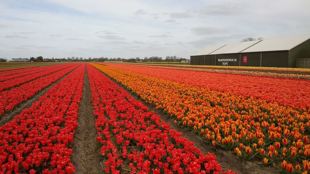 Flower Field Flowerbed Agriculture In A Row Growth Red Rural Scene Farm Abundance Nature Beauty In Nature Freshness Sky Poppy No People Plant Outdoors Landscape Tulip