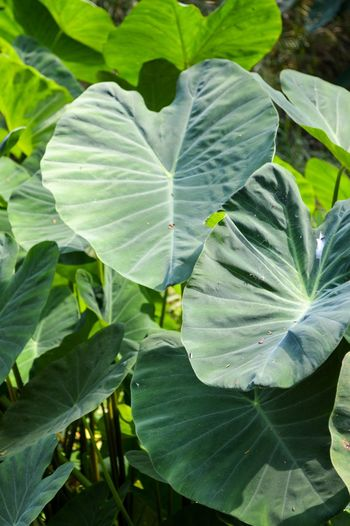 Colocasia Esculenta Natural Nature Plant Beauty In Nature Close-up Closeup Day Elephant Ear Plant Flower Focus On Foreground Foliage Fragility Freshness Green Color Growth High Angle View Leaf Leaf Vein Leaves Nature No People Outdoors Plant Plant Part Sunlight Taro Vulnerability  White Color