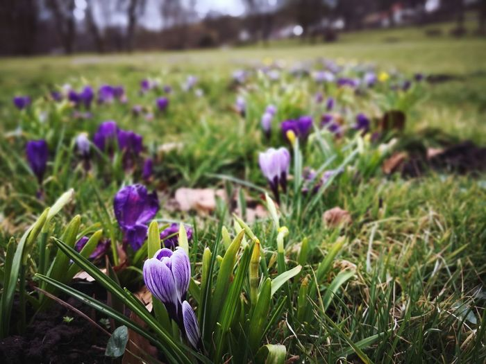 Spring in the park Purple March Season  Spring Park Flower Grass Crocus Flower Head Flower Rural Scene Herbal Medicine Field Flowerbed Purple Uncultivated Purple Color Flowering Plant Plant Life Blossom Focus Flora