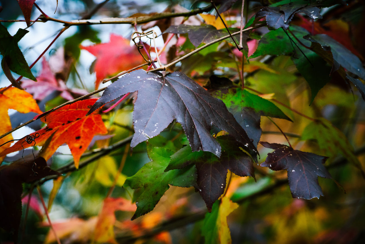 leaf, plant part, autumn, plant, growth, close-up, beauty in nature, nature, change, tree, leaves, no people, day, focus on foreground, wet, drop, outdoors, water, branch, maple leaf, rain, raindrop, dew, autumn collection