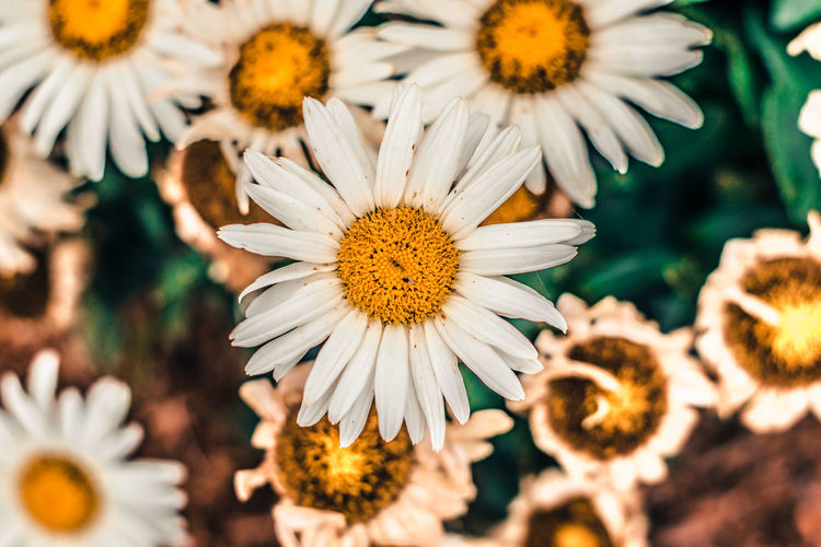 Beauty In Nature Blooming Blossom Botany Close-up Daisy Day Flower Flower Head Focus On Foreground Fragility Freshness Growth In Bloom Macro Nature No People Outdoors Petal Home Is Where The Art Is Pollen Selective Focus White Color Yellow Hidden Gems