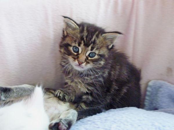 Adorable Adorables Animal Themes Baby Cat Chatons Chats Chou Cute Domestic Animals Domestic Cat Feline Indoors  Katze Katzen Kitten Kittens Kittens Of Eyeem Lieb Little Mammal One Animal Pets Poils So Cute
