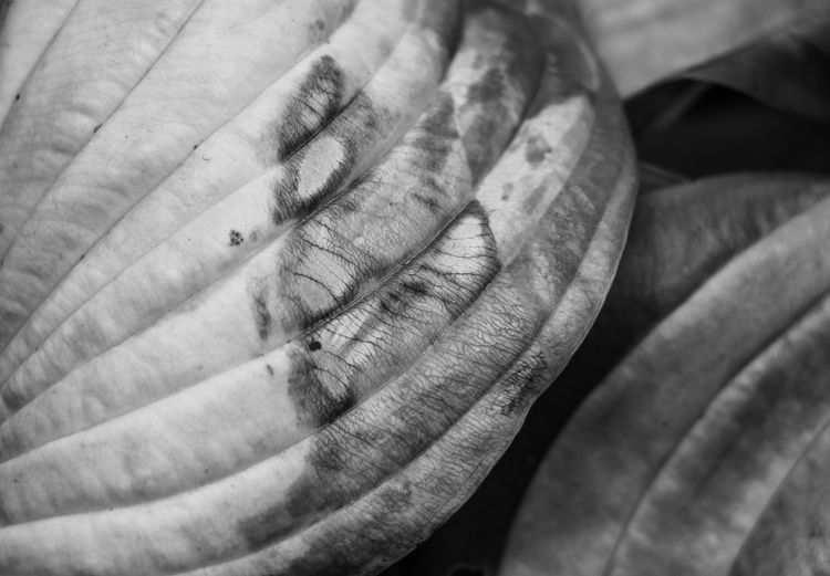 Black & White Decay Plant Plant Part Black And White Blackandwhite Decaying Hosta Leaf Leaves Mono Monochromatic Monochrome monochrome photography Pattern