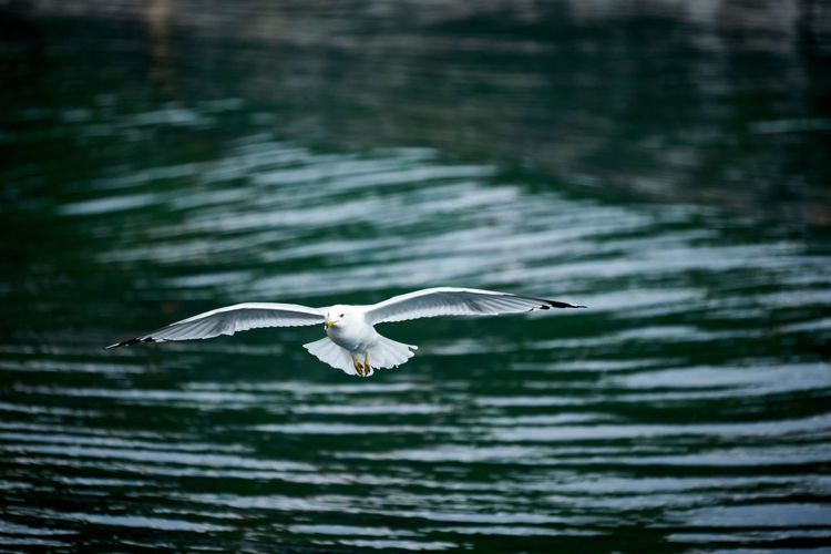 Close up of seagull flying over lake with blurred water background