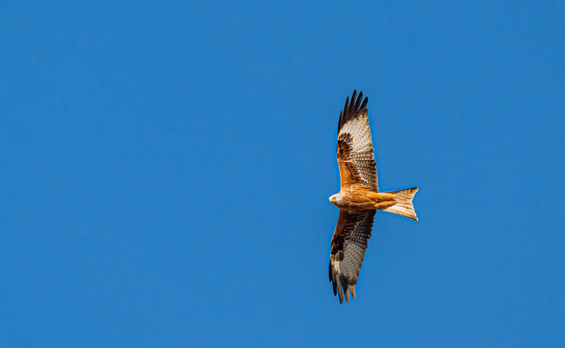 Red kite, milvus milvus, in flight in early spring against clear blue skies