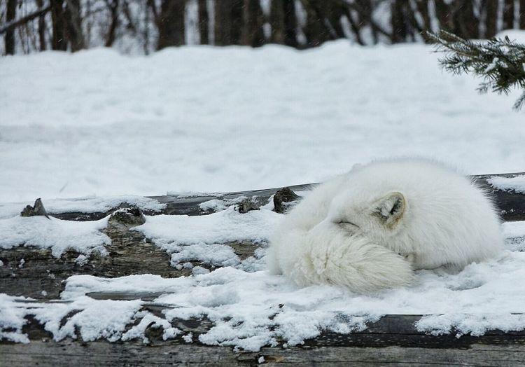 Arctic fox relaxing on snow
