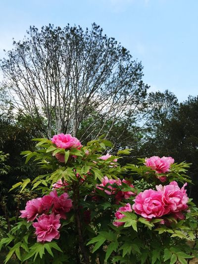 Beautifulflowers Peony  Blue Sky Talltrees