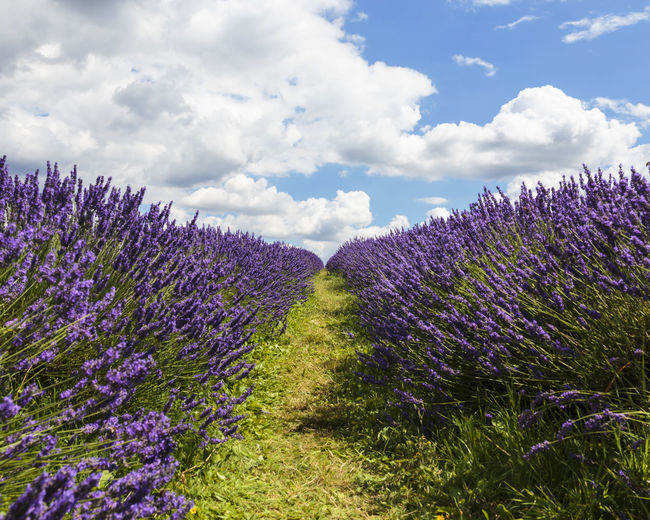 Between rows of Lavender at Mayfield Lavender Farm, Banstead, England Britain British Farm Field KINGDOM Nature Path Rural United States Banstead Blue Countryside England English Landscape Lavender Mayfield Outdoors Pathway Purple Row Rows Sky Summer Uk