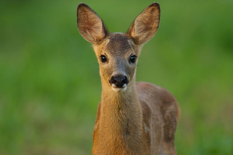 Animal Animal Head  Animal Themes Beauty In Nature Biesbosch Close-up Portrait Ree Reekalf Roe Deer Roe Deer Cub Wildlife & Nature Wildlife Photography
