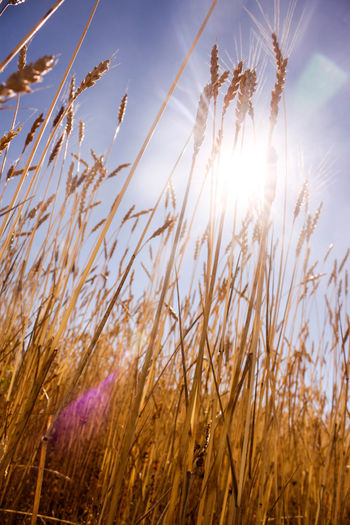 Agriculture Beauty In Nature Cereal Plant Close-up Day Field Flower Grass Growth Lens Flare Low Angle View Nature No People Outdoors Plant Rural Scene Scenics Sky Summer Sun Sunbeam Sunlight Sunset Tranquility Wheat