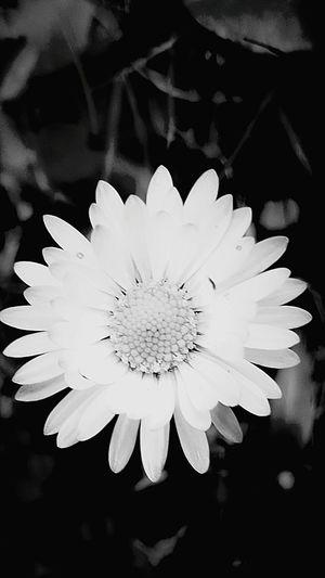 Flowerpower🌸 Daisy Blackandwhite Photography Graz Austria ❤
