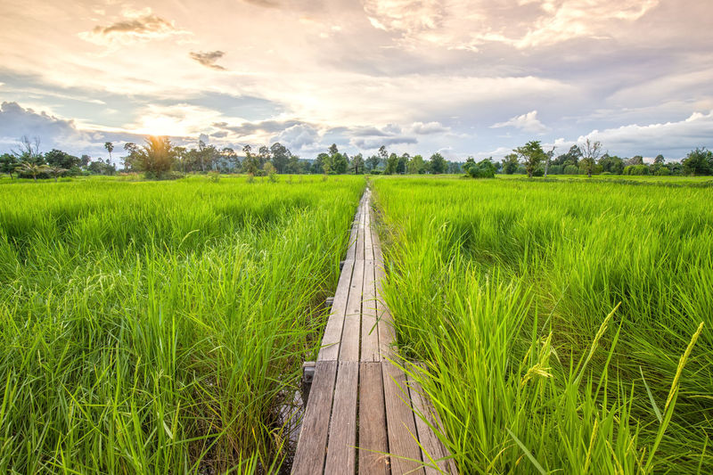 Field Background Nature Blue Bridge Path Depth Sky Rice Wooden Green White Old Beautiful Across Natural Fresh Plant Season  Landscape Outdoor Wood Antique Park Environment Sun Sunlight Sunset Light Aged Agriculture Scene Rural Countryside Walk Way Walkway Travel Growth Cloud Tree View Horizon Farming Farmland Khonburi Nakhon Ratchasima Thailand Year