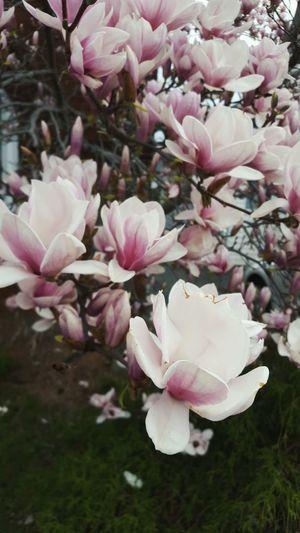 Magnoliaflower Magnolia MagnoliaTree Treeflowers Flower Nature Pink Color Blossom Flower Head Plant Outdoors Springtime