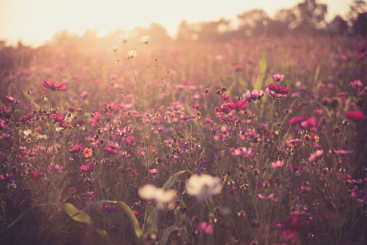 cosmos flower with sunset Cosmos Flower Beauty In Nature Day Field Flower Flower Head Flowering Plant Freshness Growth Land Nature Outdoors Pink Color Plant Selective Focus Sunlight