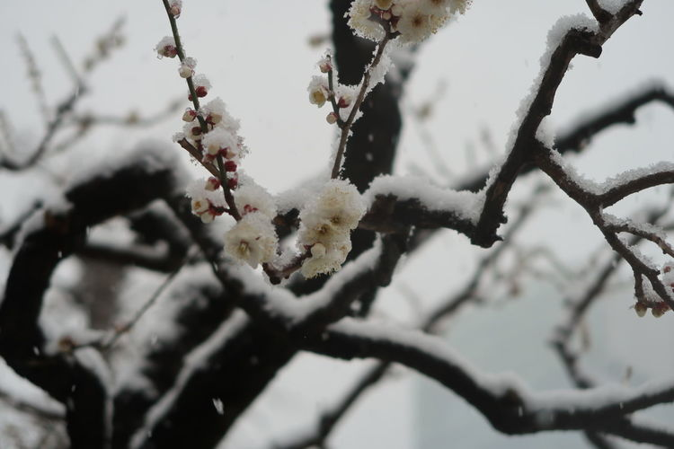 Plum Tree Plum