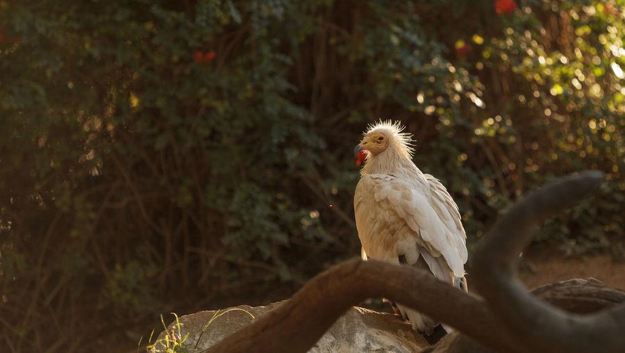 Egyptian vulture against plants