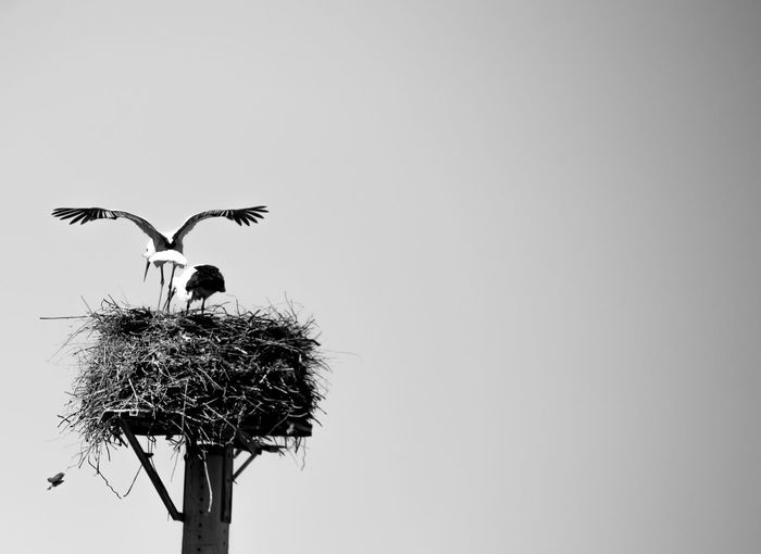 Bird Animal Themes Animals In The Wild Animal Wildlife Animal Vertebrate Sky Copy Space Clear Sky Low Angle View No People Group Of Animals Animal Nest Nature Day Two Animals Perching Outdoors Plant Stork Animal Family Blackandwhite Black And White Black&white Birds Horizon