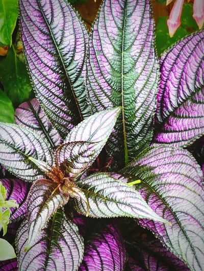 Full Frame Leaf Vein Natural Pattern Plant Purple Close-up Macro Extreme Close-up Beauty In Nature Backgrounds Nature On Your Doorstep Garden Photography Cotswold Wildlife Park Outdoors