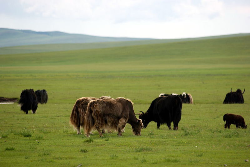 Mongolia Yak Animal Animal Themes Animal Wildlife Animals In The Wild Domestic Animals Environment Grass Group Of Animals Herbivorous Herd Land Landscape Livestock Mammal No People Outdoors Steppe Монгол улс