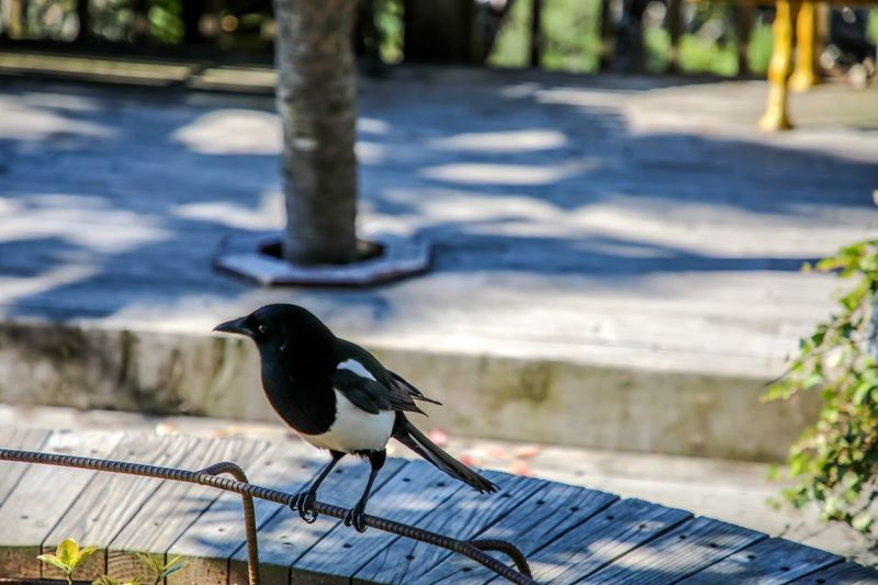Blue bird Bird