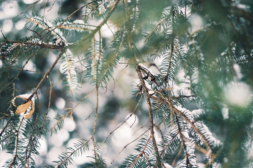 Nature Close-up Focus On Foreground Tree Pine Tree No People Outdoors Plant Growth Beauty In Nature Branch Day Backgrounds Fragility Cold Temperature Leaves Tree EyeEm Best Shots Winter Photo Christmas EyeEm Nature Lover Photography Snow Photooftheday