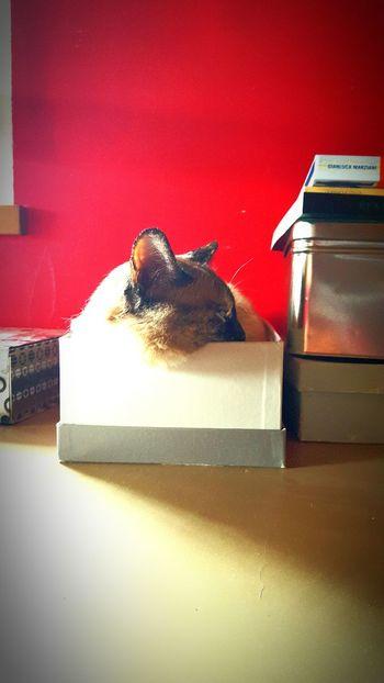 Zelenezen Siamese Cat Box