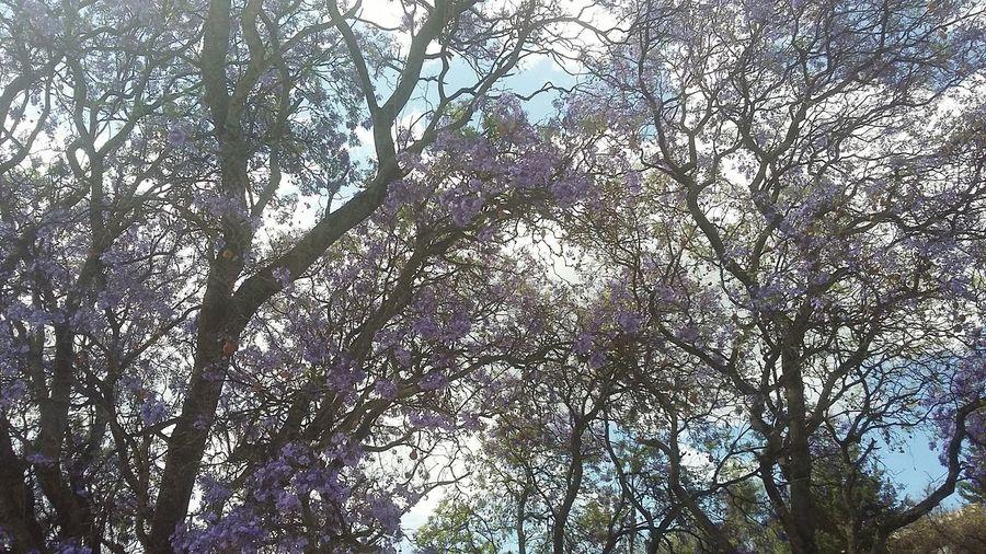 Primavera Jacaranda In Front Springtime Pattern Branch Sky
