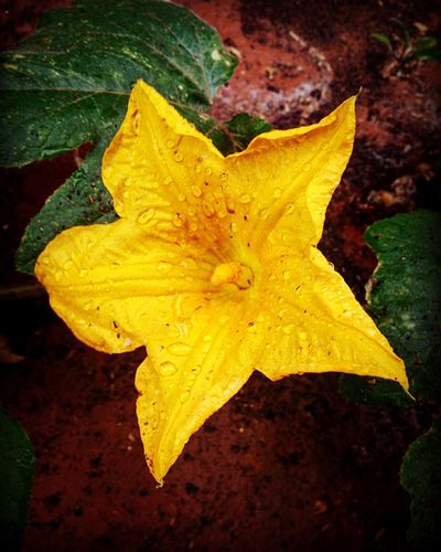 Beauty In Nature Tranquility Nature Outside Outdoor Photography Outdoors Pumpkin Pumpkin Blossom Flower