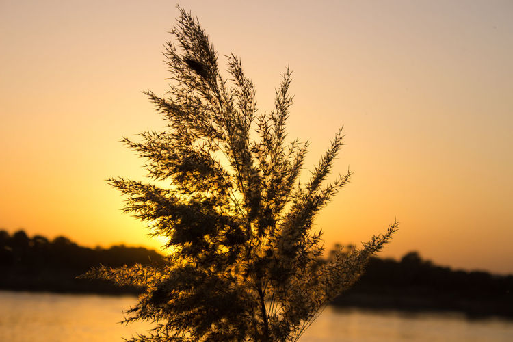 Silhouette plant growing by nile river against sky during sunset