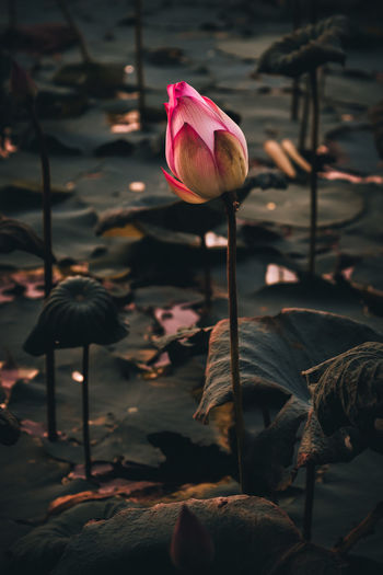 Lotus flowers in the evening