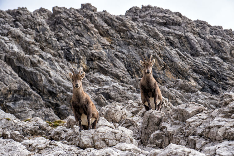 Two prying alpine ibex Animals In The Wild Animal Themes Animal Animal Wildlife Mammal No People Rock Solid Rock - Object Nature Vertebrate Day One Animal Land Outdoors Rock Formation Beauty In Nature Full Length Formation Alpine Ibex Ibex Steinbock Capra Ibex Autumn Tyrol Alps Mountain Austria
