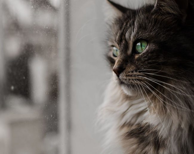 Domestic Cat Pets Domestic Animals One Animal Mammal Feline Animal Themes Close-up Indoors  No People Day Cat Portrait Standing Looking Beauty Mainecoon Majestic Creature Majestic Looking Through Window Window Animal Head  Animal Body Part The Portraitist - 2018 EyeEm Awards Capture Tomorrow