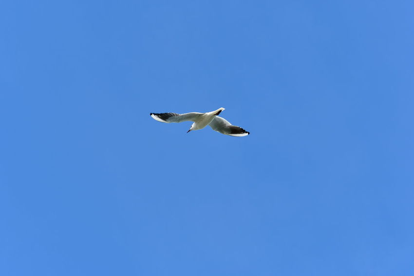 sea gull in flight Sea Gull Animal Themes Animal Wildlife Animals In The Wild Bird Day Flying In Flight Low Angle View Mid-air Nature No People One Animal Outdoors Sea Gull Flying Sea Gull In Flight Sea Gulls Sea Gulls Flying Sea Gulls In A Row Sky Spread Wings