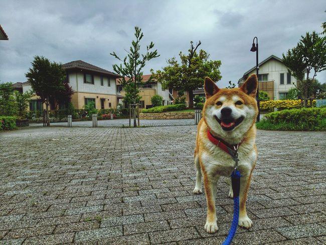 family🌠sibainu🌠dog🌠Lan EyeEm Gallery EyeEm Selects Pets Tree Dog Portrait House Sky Architecture Building Exterior Built Structure Pet Collar