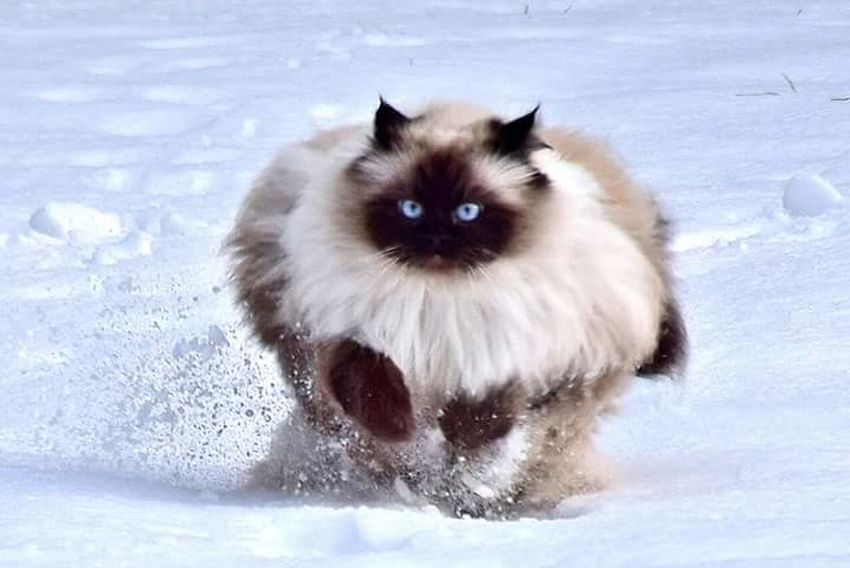 Outdoors Cat Whisker Animal Animal Themes Domestic Cat Pets Beauty In Nature Animal Head  Snow Running Catlover Cat Photography Cat