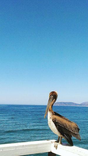 Bird Pier California Ocean Pelican