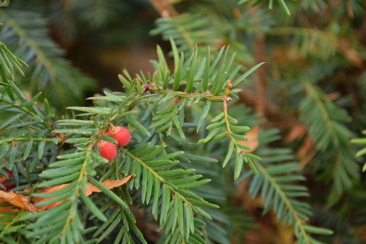 Yew with red fruits Yew Yew Tree Yew Berry Yew Berries Yew Fruit Taxus Green Color Growth Plant Red Tree Plant Part Leaf Day Close-up Focus On Foreground Beauty In Nature Nature Selective Focus No People Fruit Freshness Outdoors Needle - Plant Part Coniferous Tree EyeEmNewHere