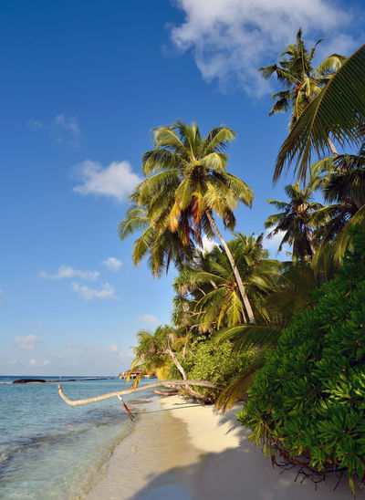 Beach Beauty In Nature Blue Calm Cloud Coastline Idyllic Maldives Nature Palm Tree Sand Scenics Sea Shore Sky Solitude Summer Sunlight Tourism Tranquil Scene Tranquility Travel Destinations Tree Vacations Water
