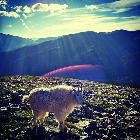 Quandry Peak Goat Goat Life Mt. Goat 14000ft Solarflare