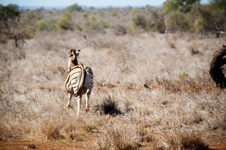 Rear view of zebra on grassy land