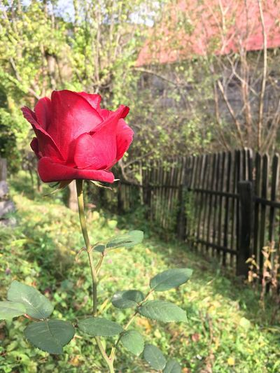 Flower Nature Petal Growth Outdoors No People Plant Beauty In Nature Red Day Fragility Flower Head Close-up Freshness