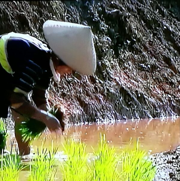Outdoors One Person Rice Cultivation Sunshine Growth Process Lifestyles