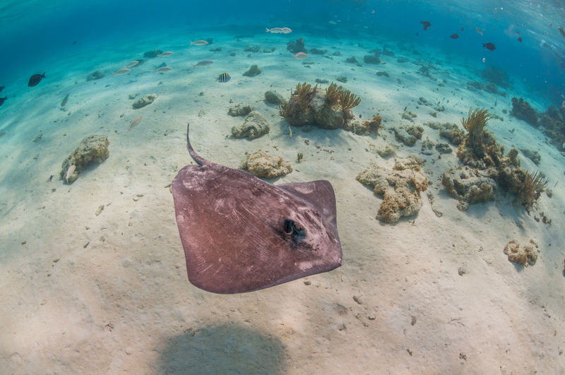 High angle view of stingray swimming in sea
