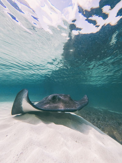 Close-Up Of Stingray Swimming Undersea