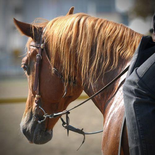 horse head Horse Horses Horse Riding Horseback Riding Horse Head Animal Animal Head  Mammal Horse Life Harness Bridle Mantle Mane Horse Mane Animal Neck